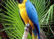 blue and gold Maccaw talking 0503264466