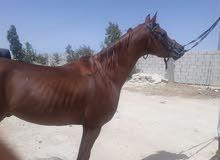 حصان عربي اصيل مسجل واهو