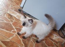 قطه سيامي