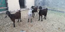 الماعز الشامي