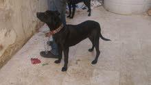 كلب لابلادور عمر 4اشهر