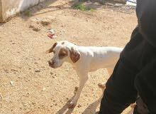كلبه صيد للبيع عمر خمس شهور جاهز للصيد مدربه ومتعوب عليها شغالة ميه بالميه