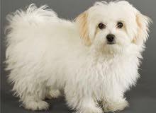 (للبيع كلب شتزو اسمه روكى ذكر والعمر 7