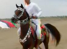 حصان عربي اصيل(حفيد غزال الشقب)