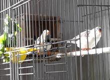 طيور الجنه
