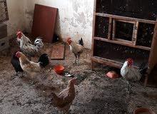 4فراريج و3 دجاجات عربيات