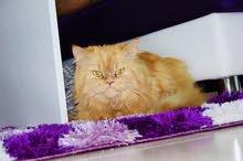 PERSIAN CAT 3 years