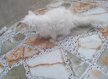 قط شيرازي الوصف