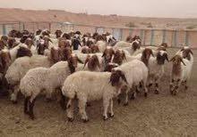 40 خروف للبيع بالكيلو فى فاقوس الشرقية ,, طريق فاقوس الحسينية