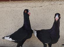 Syrian black pair