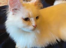 قطه بيضاء انثى