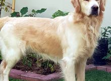Golden Retriever male stud for mating only
