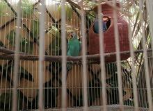 طيور الحب