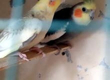 2 cocktail pairs,2 finches pairs,cocktail male,jumbo Holland finch pair for sale