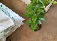 زراعة جميع انواع الاشجار وزهور  والنخيل