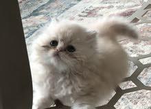 قط شيرازي صغير PURE