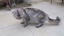 قطه شيرازيه للبيع فقط