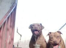 كلاب بيت بول