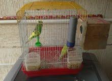 عصافير بقلينو انكليزيات للبيع