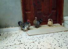 دجاج أسترالي