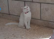 قطه همالايا  لون ابيض