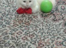 قطه شيرازي عمرها 3 أشهر تلعب أريدها 100 مكاني الزبير وبيها مجال