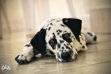 تدريب كلاب وتعديل سلوكها مع الكينج اكاديمى