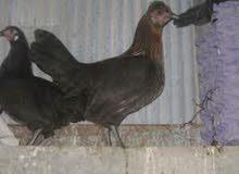 18 طير دجاج بلدي بياض ومكفول ان شاء الله مع ديكين