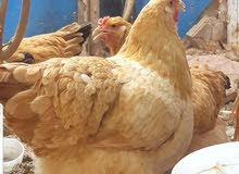 مطلوب دجاج كوشن ، ذكر واحد و 4 إناث