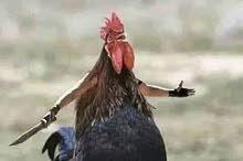 مطلوب دجاج