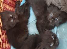 قطط شيرازي مع بريتش شورت هير