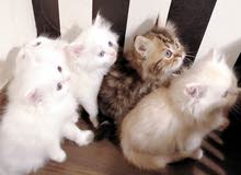 Beautiful Persian Kittens and Female Persian  Cat