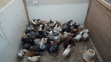 دجاج بلدي طبيعي طازج محصن