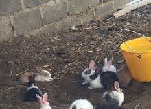 ارانب العمر غير معروف سعر لحبه 2.500 غير قابل لتفاوض