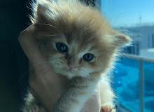4 قطط شيرازية للبيع للتواصل على رقم 0504575572