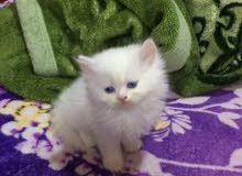 قطط شيرازي وجة القمر لعوبات وتعودات على قضاء الحاجة