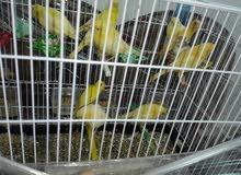 عصافير مخاليف مشكل للبيع كوم 11 عصفور