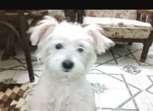 كلاب من نوع (لولو)