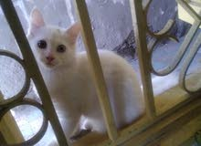 Turkish angora Kitten For Sale