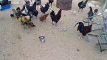 دجاج عربي ايدحي وديك عربي ديوك ناشطات