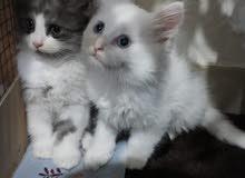 5 قطط شيرازيه للبيع