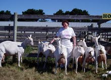 live milking saanen goats