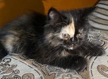 قطه صغيره جميله جدا