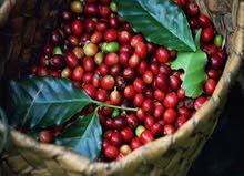 بذور وشتلات القهوة
