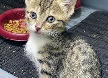 kitten for adoption  vaccinated   قطو للتبني