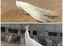 للبيع طاووس ابيض زوج