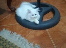 قطة شيرازي 6 شهور عايز ابيعها قبل مسافر