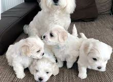 Pure breed Maltese puppies for sale