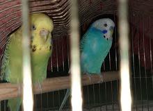 lovebirds paired