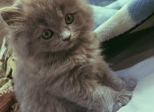قط. شيرازي للبيع